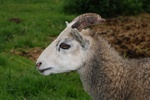 Ovis aries (Gotlandsk udegangsfaar)
